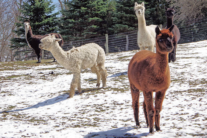 Apple Hill Alpaca Farm