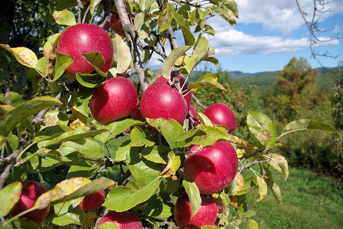 Apple Orchards Near Asheville NC