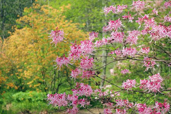 NC Arboretum Spring Shows