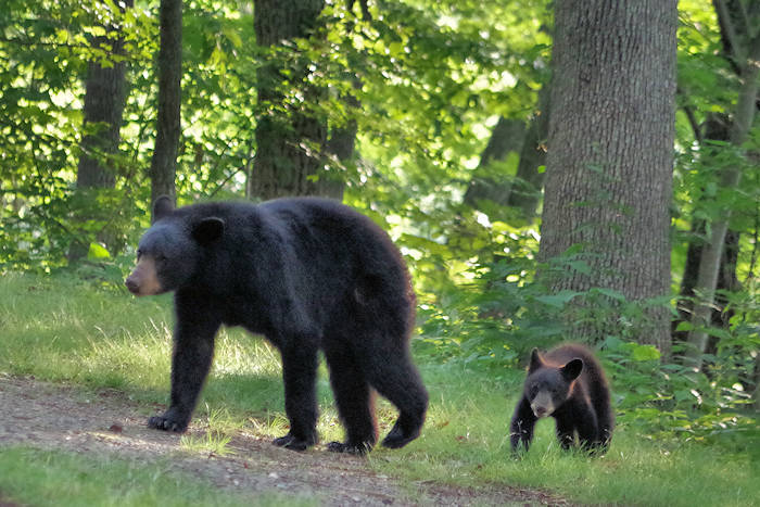 Bear Safety Tips NC Mountains