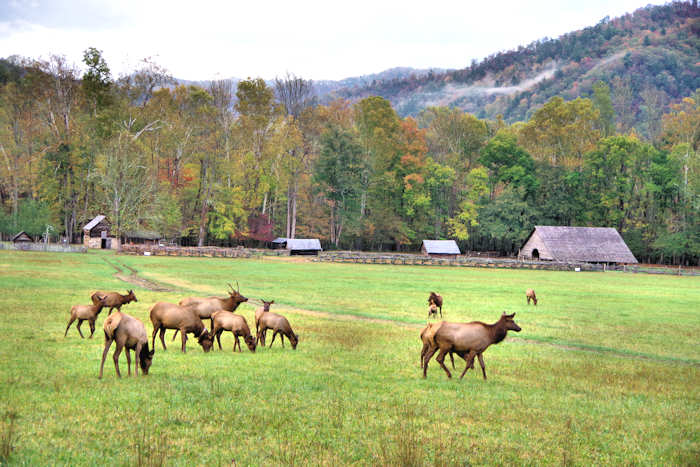 Elk in Cherokee