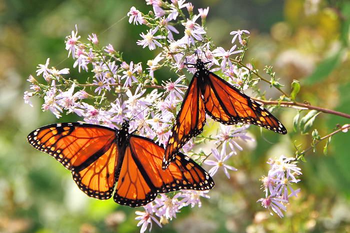Mariposas y polillas de América del Norte | recopilar y compartir datos sobre Lepidoptera