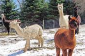 Alpaca Farm, North Carolina