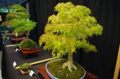 Bonsai Expo at NC Arboretum