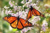 Monarch Butterfly NC Mountains