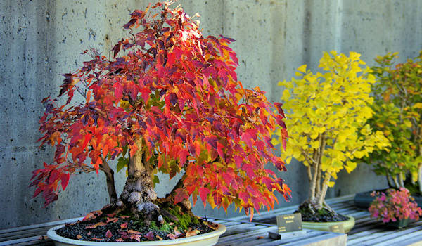 Bonsai at NC Arboretum Fall
