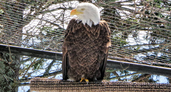 Bald Eagle, Grandfather Mountain