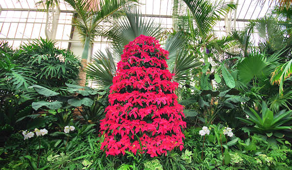 Biltmore Christmas Conservatory Poinsettia Tree