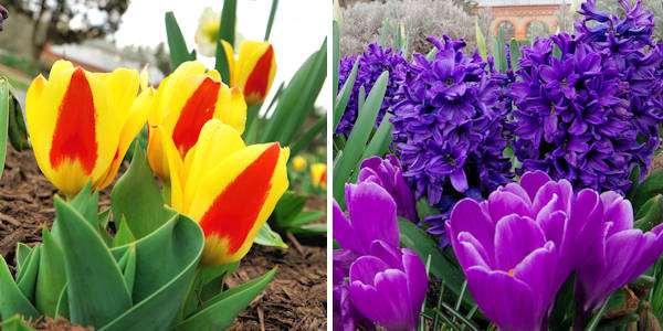Cómo mezclar tulipanes con narcisos | Inicio Guías | Puerta SF