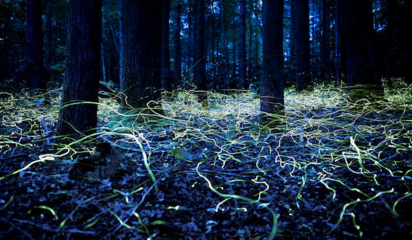 Blue Ghost Fireflies in DuPont Forest