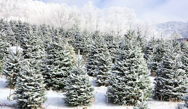 Christmas Tree Farm, Banner Elk