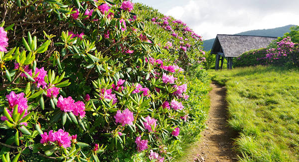 Craggy Gardens Trail, Rhododendron