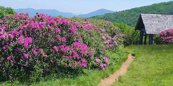 Craggy Gardens Trail Rhododendron