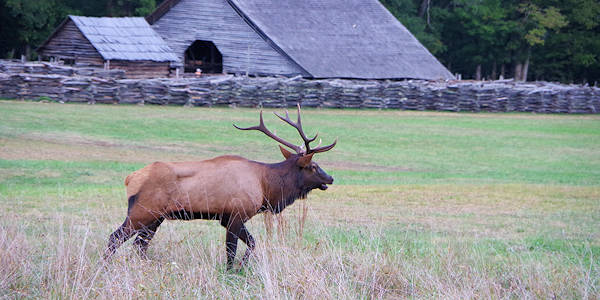 Elk at Oconaluftee Visitor Center