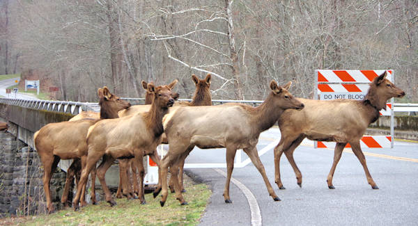 Elk on Blue Ridge Parkway