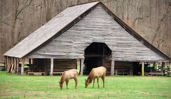 Elk in Great Smoky Mountains Cherokee
