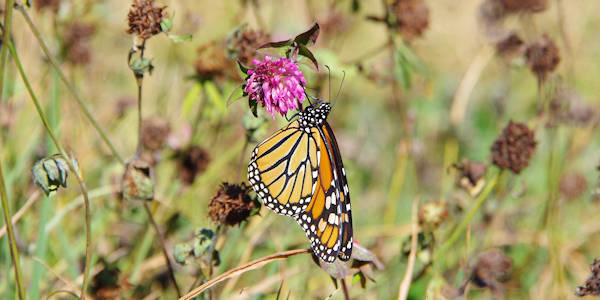 Monarch Butterfly Huckleberry Knob
