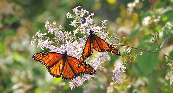 Monarch Butterfly, Blue Ridge Parkway