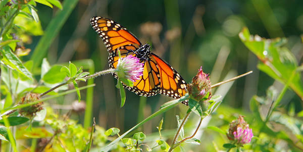 Monarch Butterfly Altapass