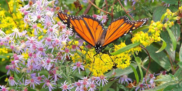 Migración del monarca: Rey de las mariposas llega en el sur de Tejas Recreación | San Antonio Corriente