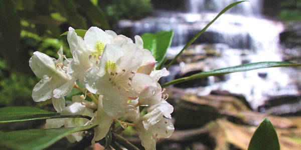 Pearsons Falls Rhododendron