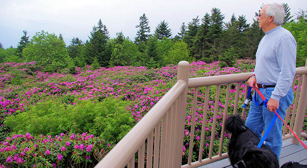 Roan Mountain Rhododendron