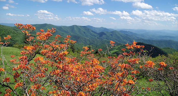 Roan Mountain Flame Azalea