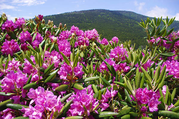 Roan Mountain Rhododendron NC