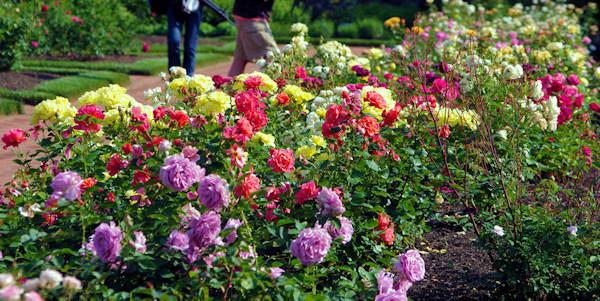 Roses at Biltmore