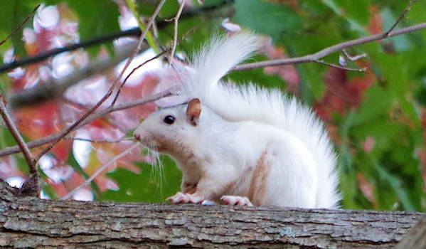 White Squirrel in Brevard NC