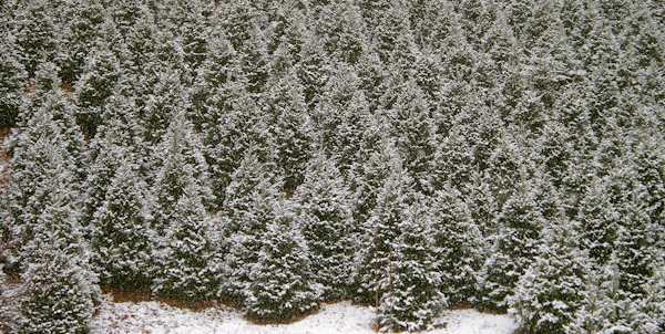 Douglas Fir Christmas Tree Farms Nc