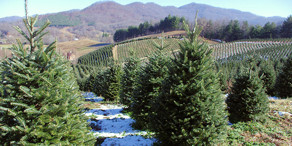 Christmas Tree Farms, Asheville & NC Mountains